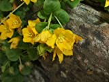 LYSIMACHIA NUMMULARIA 'CREEPING JENNY' GREEN GROUND COVER HARDY CREEPER WITH YELLOW FLOWERS
