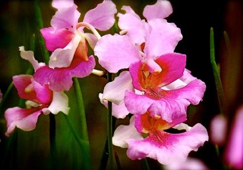 vanda-orchid-hawaiian-starter-plant-miss-joaquim-approx-6-10-inches
