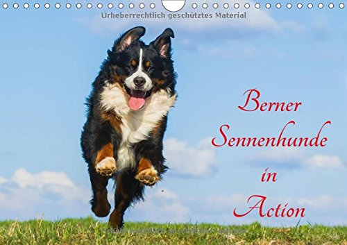 berner sennenhunde in action wandkalender 2017 din a4 quer berner sennenhunde wie sie selten. Black Bedroom Furniture Sets. Home Design Ideas