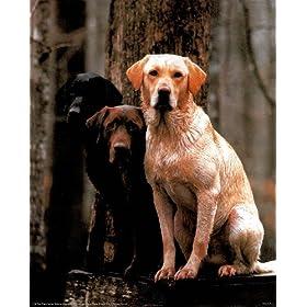 """3 Phases Of Labrador Retriever Dog Art Poster Print - 16"""" X 20"""""""