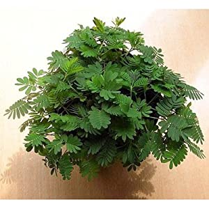 Seeds and Things Sensitive Plant 50 Seeds -LEAVES MOVE- Tropical Mimosa Pudica