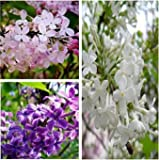 (Syringa Ep9999) 50 Pcs Syringa Seeds, Lilac Flowers,balcony Potted, Germination Rate of 95%,50 Pieces/bag (Syringa 070)