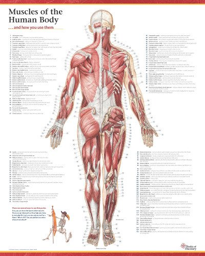 Trail Guide to the Body's Muscles of the Human Body Poster: Posterior View (Anatomy Chart Muscles compare prices)
