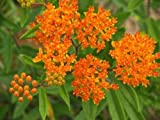 "Butterfly Weed or Orange Milkweed (asclepias Tuberosa) in Nc - 18""W x 14""H - Peel and Stick Wall Decal by Wallmonkeys"