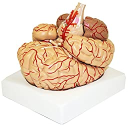 Vision Scientific VAB443 Life Size Human Brain with Arteries - 9 Parts (6.7\