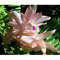 Peaches & Cream Christmas Cactus Plant - 6 Hanging Pot