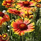 """GAILLARDIA GRANDIFLORA (GAILLARDIA ARISTATA) """"BLANKET FLOWER"""" INTRICATELY COLORED FLOWERS ALTERNATING HUES OF SCARLET AND YELLOW DROUGHT RESISTANT APPROX 250 SEEDS"""