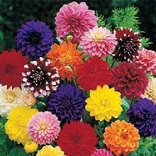 20+ Dinnerplate Dahlia Mix Flower Seeds