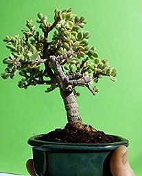 Miniature Bonsai - Portulacaria afra \'variegata\' - 7 year old plant