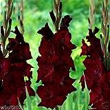 Gladiolus Bulbs (Corms) -