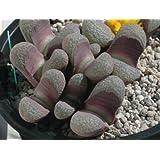 lithops divergens v amethystina, 10 seeds, living stone