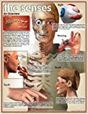 Five Senses Human Biology Poster Series - 10 Poster Laminated Set; Sight, Taste, Smell, Hearing, and Touch.