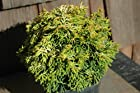 Chamaecyparis Obtusa Butter Ball - Dwarf Hinoki Cypress Tree - Pot Size 4 Inch