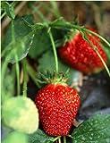 (Mix Minimum $5 Za#004) 50 Pcs Red Strawberry Seeds, Easy Grow 90 Days Harvest Organic Fruit Seeds