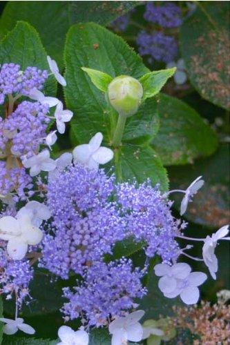 'Blue Bunny' Hydrangea Shrub - Flowering Shrub