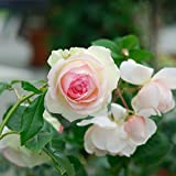 Strauchrose Eden Rose® Rosen-Blüten zweifarbig Rosa-Weiß - Nostalgische Weltrose angenehmer Duft, robust, aufrechter Wuchs ✿ Winterharte Rose vom Testsieger Stiftung Warentest: Garten Schlüter