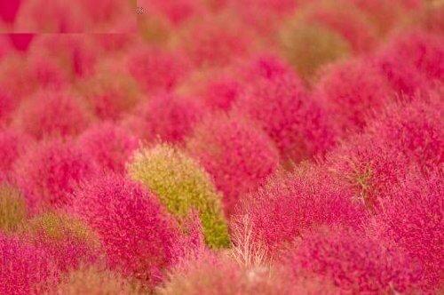 100 KOCHIA (Broom Cypress / Burning Bush / Summer Cypress / Mexican Fireweed) Kochia Scoparia Shrub Bush Seeds