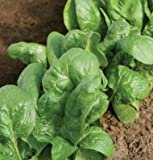 Search : Spinach Tyee D646A (Green) 500 Hybrid Seeds by David's Garden Seeds