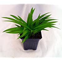 Shamrock Spider Plant - Easy to Grow - Cleans the Air