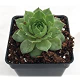 "'Green Wheel' Hens & Chicks - Sempervivum - Very Hardy - 4"" Pot"