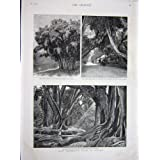 Impresión Antigua del Banyan Indio Gigante de Peradinia Ceilán de 1887 Árboles De Goma