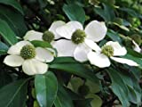Garden House Cornus capitata, Himalayan strawberry-tree, Evergreen dogwood from China - rare specimen tree Established potted plant height 60-70cm