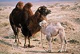 Image de Die Geschichte vom weinenden Kamel [Blu-ray] [Import allemand]