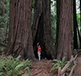 20 Coast Redwood Tree Seeds by Seeds and Things