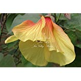Hibiscus tiliaceus10 seeds Sea Hibiscus Flower Salt Tolerant blooms bright yellow that turning orange Deck Garden Potted Plant Houseplant (Color: Yellow flowers turning to red - green foliage)