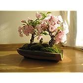 春には 桜 三本の桜並木盆栽で リビングで  お花見