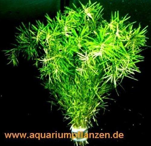 1-manojo-bacopa-myriophylloides-myriophyllum-similar-a
