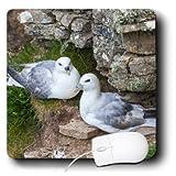 Danita Delimont - Birds - Northern Fulmar, Noup Head on Westray, Orkney, Scotland. - MousePad (mp_209875_1)