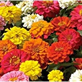 Zinnia Hybrid Mixed Flower Seeds Pack Of 50 Seeds Sold By Seedscare India