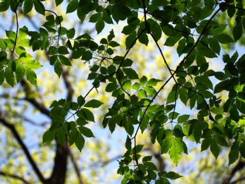 【6か月枯れ保証】【山林苗木】アオダモ 0.3m