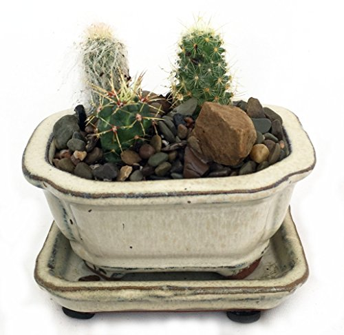 Hirts Gardens Cactus Garden in Ceramic Pot with Saucer