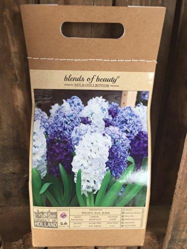 16 Hyacinth Blue Blend - Hyacinth Orientalis (Fragrant Flower Bulbs compare prices)