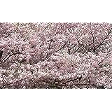Weeping Yoshino Cherry Tree Shidare - Established Roots 2.5