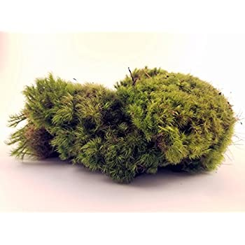 Fresh Mood Moss Perfect for Terrariums and Bonsai
