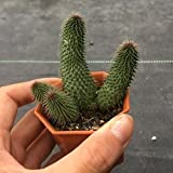 多肉植物:ガガイモ 阿修羅*幅5cm