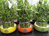 Lucky Bamboo Carousel in a Round Ceramic Pot. Indoor Bonsai for Feng Shui. 35cm[Green]