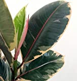 """Tineke Rubber Tree Plant - Ficus - NEW yet very OLD! - 4"""" Pot"""