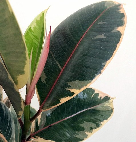 Tineke Rubber Tree Plant - Ficus - NEW yet very OLD! - 4