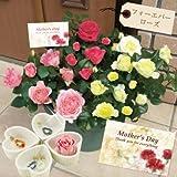2013年 母の日ギフト バラ フォーエバーローズ カラフル3色8号鉢植え パワーストーン(天然石)付