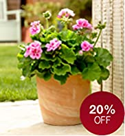 Small Patio Pot - Geraniums