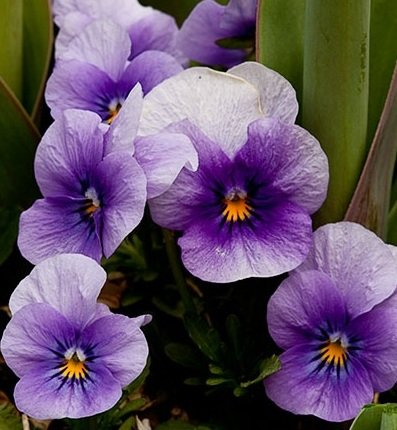 Flowering Plants - Lavender Pansies