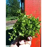 Pepper Cress (select 400 seeds) heirloom curled grass pepperwort