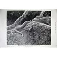 La Impresión Antigua de 1899 Jardines Zoológicos Se Dirige la Árbol-Serpiente Plomiza
