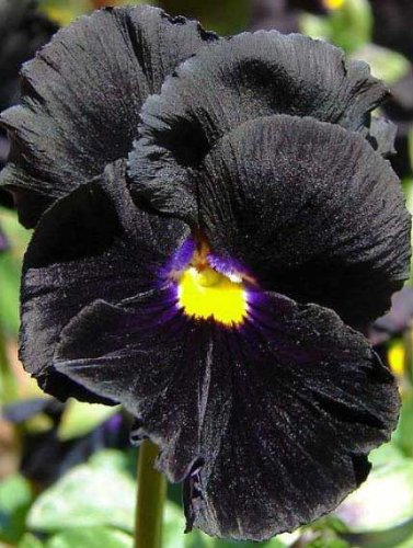 Black Bowles Viola: 25 Seeds (Fresh & Untreated, Gothic Perennial)