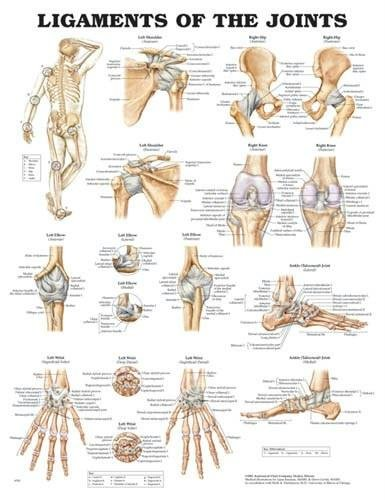 wolters-kluwer-health-ligaments-of-the-joints-chart-20-x26