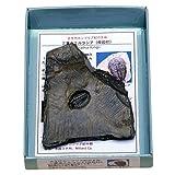 あなたも!化石博士シリーズ 紙箱標本 古世代カンブリア紀の主役 三葉虫エルラシア母岩付